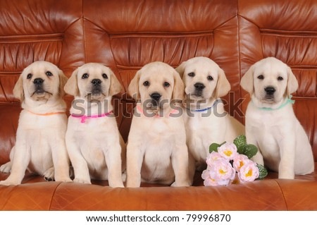 Group of five labrador puppies sandy color sitting at leather sofa and looking at camera