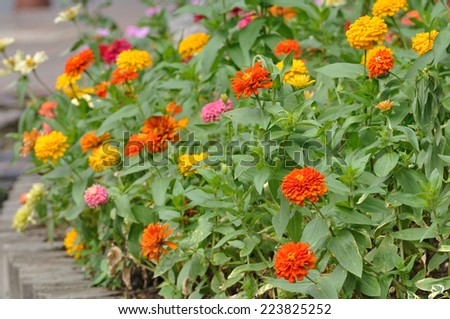 Zinnia Group Zinnia Group of Flower Zinnia of