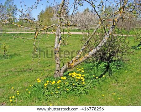 Group of flowering dandelions grow in garden under old apple tree.                                - stock photo