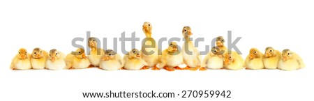 Group of fluffy baby ducklings - stock photo