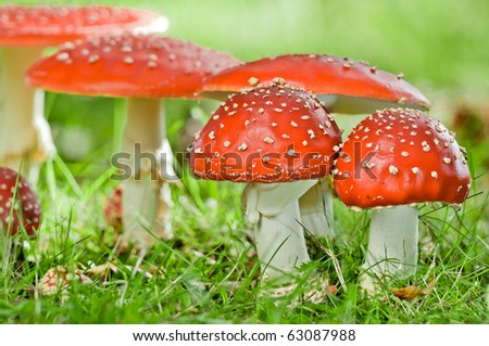 group of fly agaric in grassland - stock photo