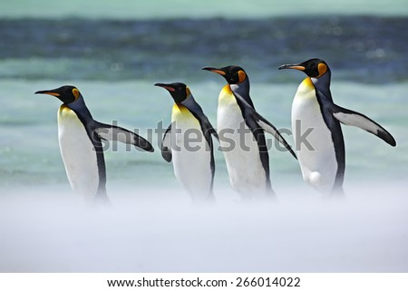 Group of four King penguins, Aptenodytes patagonicus, going from white snow to sea, Falkland Islands - stock photo