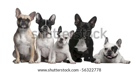 Group of French Bulldogs in front of white background - stock photo