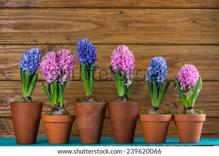 Group of fresh bulb spring flowers in ceramic pot - stock photo