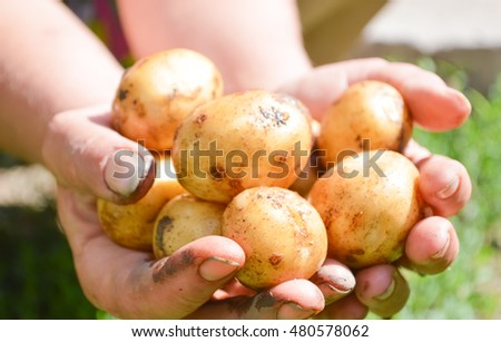 Group of fresh potatoes in farmer's hands