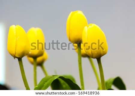 Group of fresh yellow tulips in garden