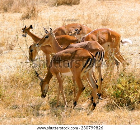 group of  gazelle  at the Serengeti National Park  - stock photo