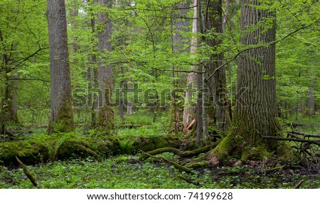 Group of giant oaks in natural forest and dead wood in foreground moss wrapped