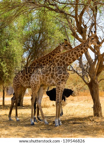 Group of giraffes eat the leaves of the tree