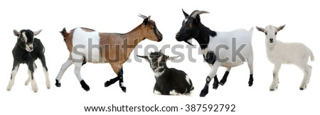 group of goats and kids in front of white background
