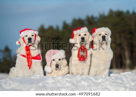 group of golden retriever dogs in santa hats posing in winter