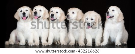 group of golden retriever puppies on black - stock photo