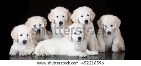 group of golden retriever puppies posing together