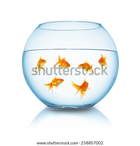 group of goldfishes in a fishbowl isolated on white - stock photo