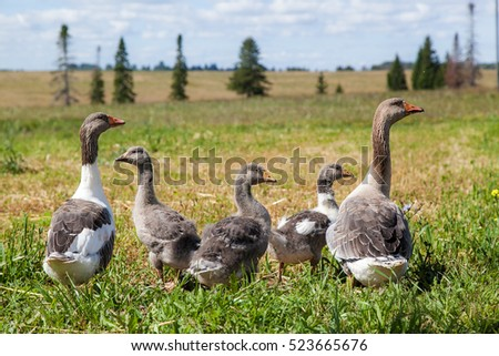 group of gray geese on a green lawn