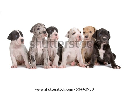 group of great dane puppies isolated on a white background - stock photo