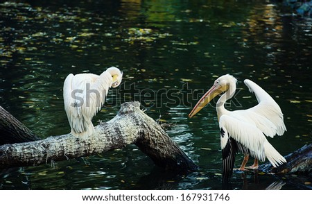 Group of Great White Pelicans - stock photo
