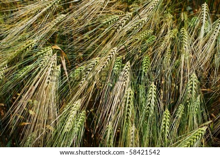 Group of green and golden barley heads - stock photo