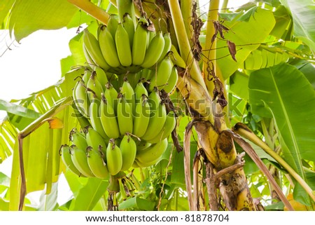Group of green raw bananas tropical fruit on tree
