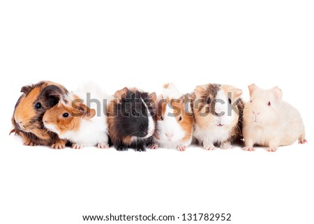 Group of 6 guinea pigs on a white background - stock photo
