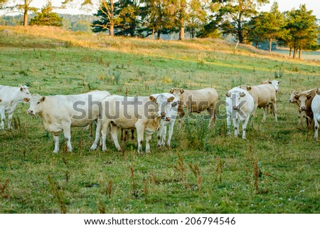 Group of heifers in early morning on pasture. - stock photo
