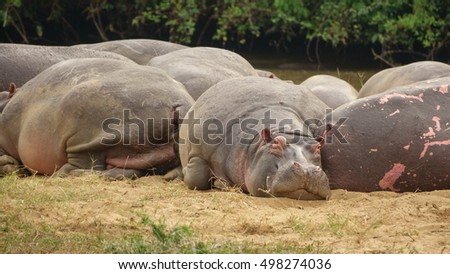 Group of Hippopotamus with pink skin, front view