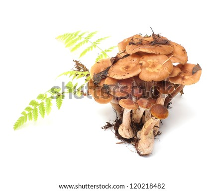 Group of honey agarics and fern on a white background. - stock photo