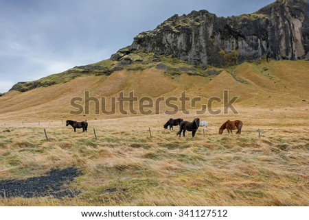 group of Icelandic Ponies in the pasture with mountains in the background