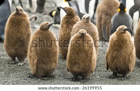 Group of King penguin chicks - stock photo