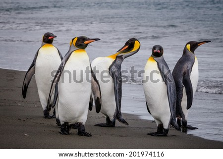 Group of King Penguins on water's edge in St. Andrews Bay, South Georgia.