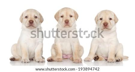 Group of Labrador retriever puppies on a white background - stock photo