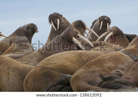 Group of large walrus on the beach in Lagoya, Svarlbard, Norway - stock photo