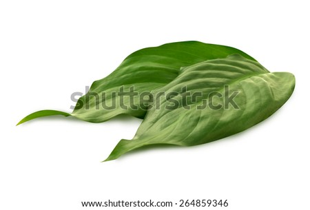 Group of leaves on the white background. Green leaves, leaves isolated, perfect plant leaves.