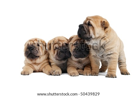 group of lying and standing small sharpei puppy dog