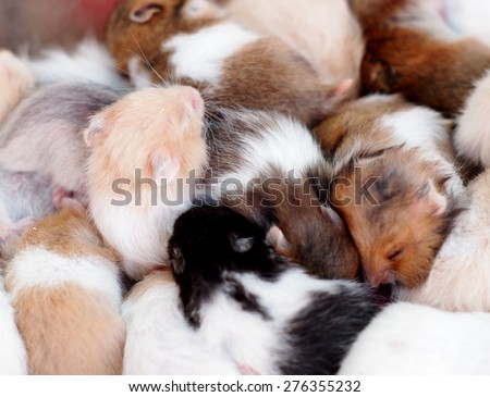 group of many young hamster mouses white brown and black color sleeping together for sale in a pet shop in THAILAND - stock photo