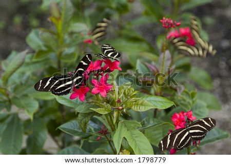 Group of many Zebra long wing butterflies on red flowers - stock photo