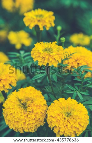 group of marigold flower (Vintage filter effect used) - stock photo