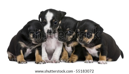 Group of mixed-breed puppies, 1 month old, in front of white background