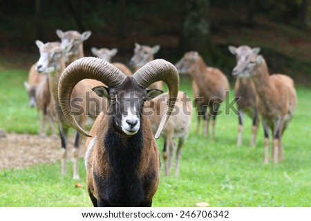 group of mufflons. - stock photo