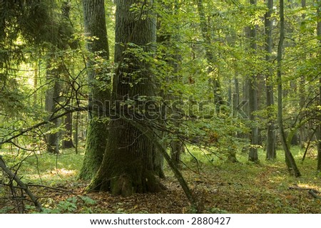 Group of oaks and young hornbeam bended - stock photo