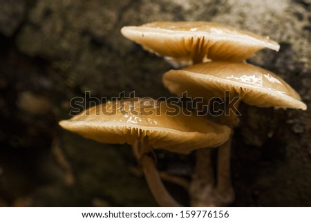 Group of old porcelain fungus growing on a dead tree - stock photo