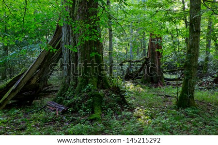 Group of old trees in natural forest in summertime morning with moss wrapped linden tree in foreground - stock photo