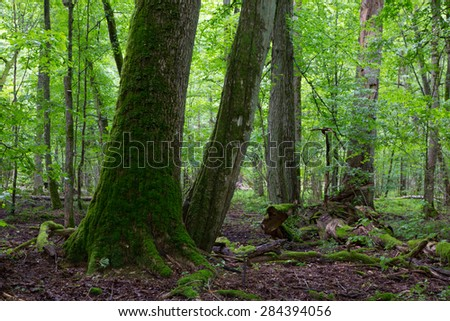Group of old trees in old natural deciduous stand of Bialowieza Forest in background
