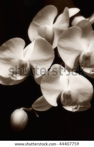 Group of orchid blossoms, black & white sepia toned image. - stock photo