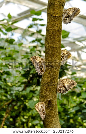 Group of owl butterflies hanging onto tree branch in tropical rainforest - stock photo