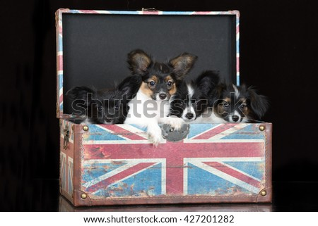 group of papillon puppies sitting in a box - stock photo