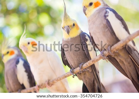 group of parrots on a branch, Nymphicus hollandicus - stock photo