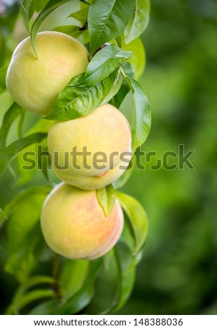 Group of Peaches hanging from the branch in a backyard - stock photo