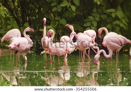 Group of phoenicopterus roseus, pink flamingo standing in the lake, animal natural background - stock photo