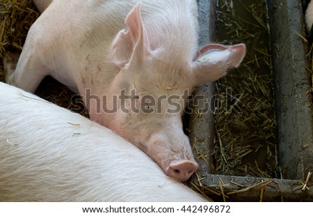 Group of pigs (Large white swine) sleeping on straw beside drinker in the pen - stock photo